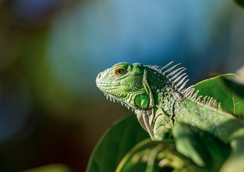 Blue Iguana Recovery Program